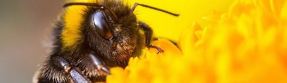 Bee Vectoring meldet US-Approval für revolutionäres Bienen-Fungizid