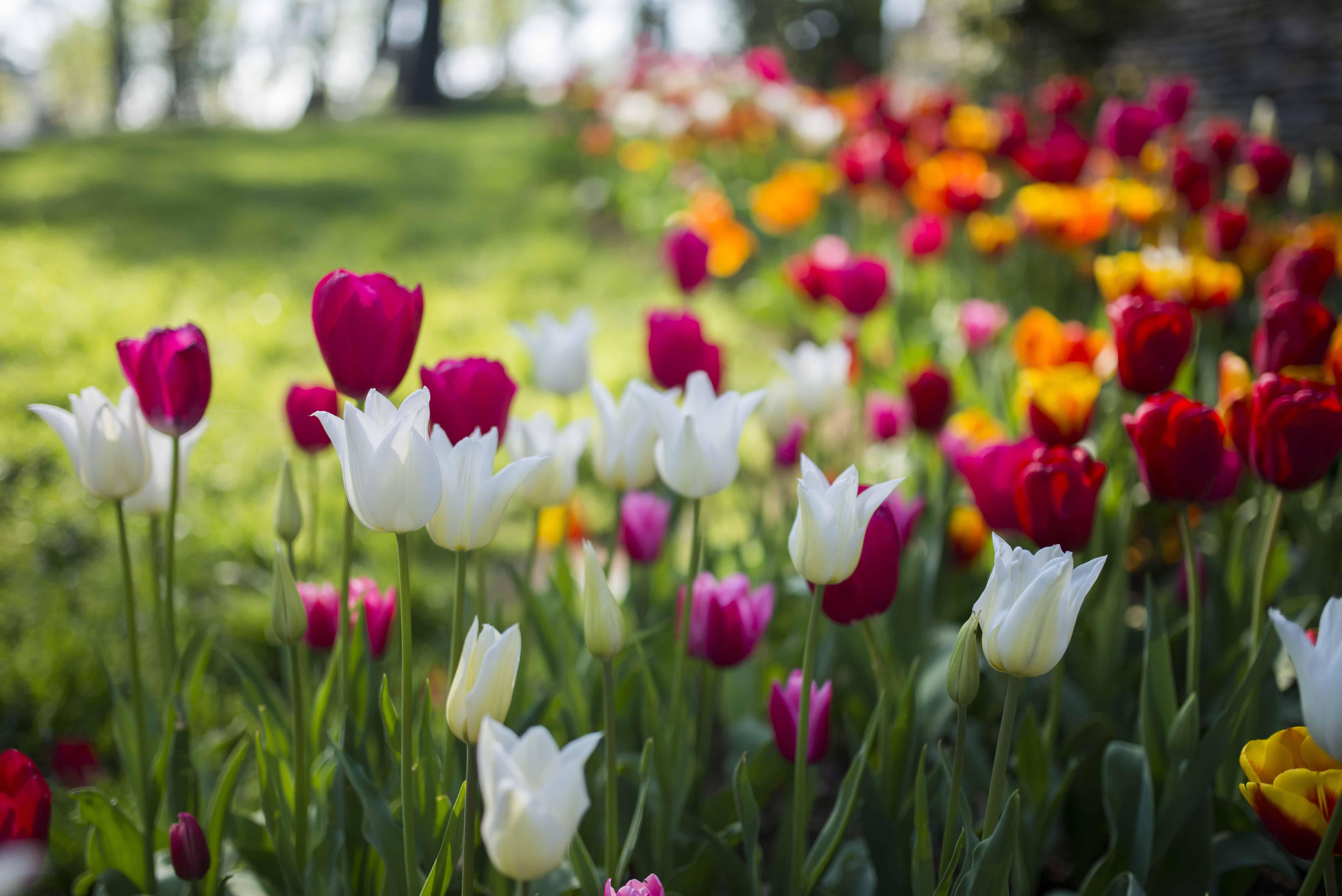 Tulpenkrise