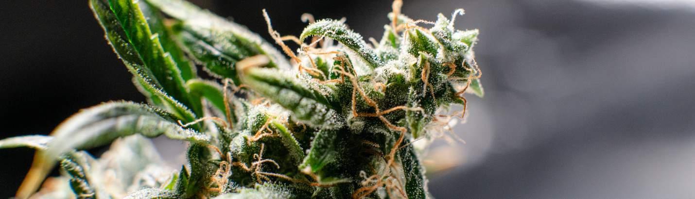 Cannabis Blüte